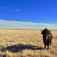 Bison in Soapstone Prairie Natural Area